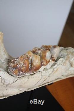 Miocène SUPERBE mandibule de GOMPHOTHERIUM 65CM No Faluns GERS FRANCE 1960